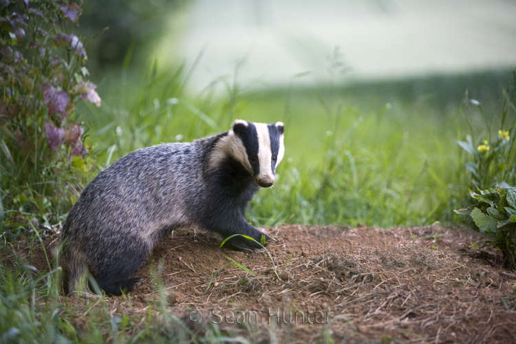 Eurasian badger by sett entrance at the edge of a wheat field