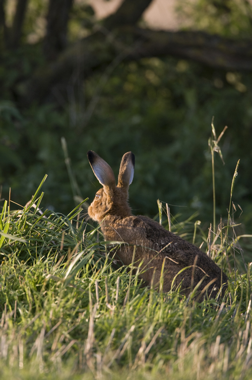 An alert European brown hare
