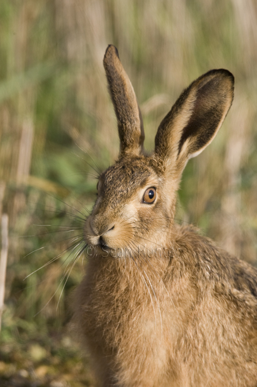 Portrait of a European brown hare