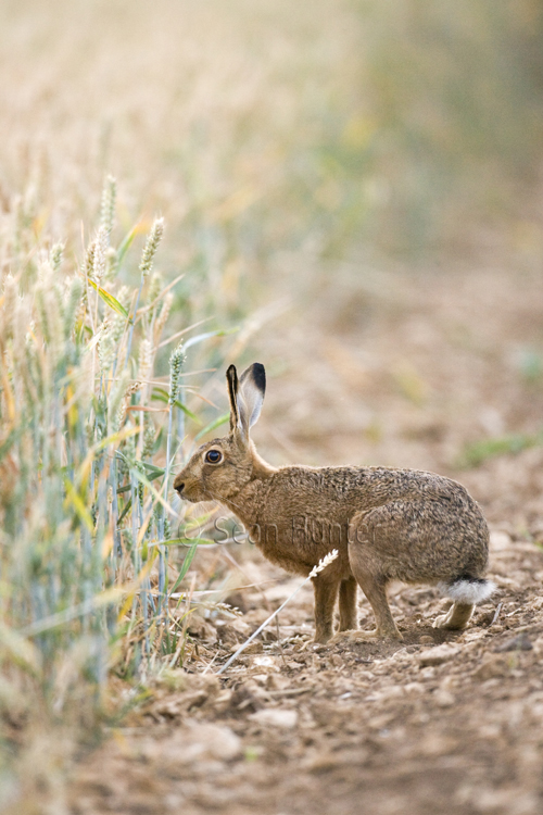 European brown hare at the edge of a field of wheat.