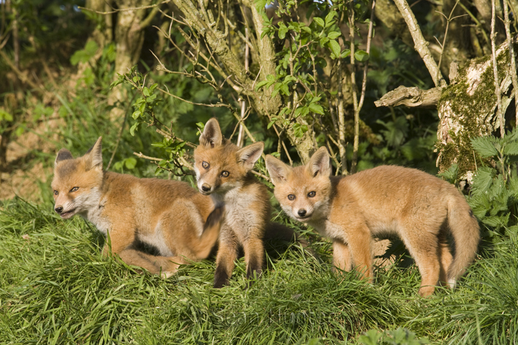 european red fox cubs ma05dl8926sh european red fox cubs vulpes vulpes    Red Fox Cubs