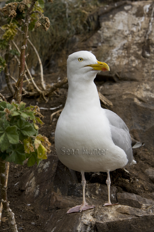 Herring gull, the Bass Rock