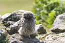 Juvenile little owl on a stone wall