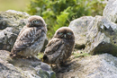 Juvenile little owls on a stone wall