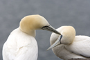 Gannets in courtship on the Bass Rock