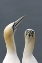 Courting gannets on the Bass Rock