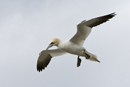 Gannet in flight over the Bass Rock