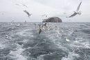 Gannets and herring gulls in flight near the Bass Rock