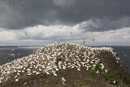 Gannet colony on the Bass Rock