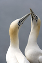Gannets in courtship display on the Bass Rock