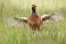 Male pheasant in display