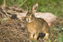 European brown hare leveret