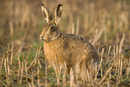 European brown hare in a stubble field
