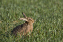 European brown hare in a field of winter wheat