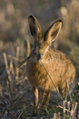 European brown hare