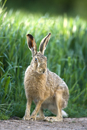 European brown hare at the edge of a field of winter wheat