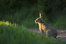 European brown hare in the early evening sun