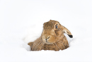 European brown hare in the snow