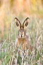 Juvenile European brown hare