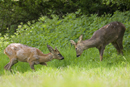 Young roe deer bucks playfighting