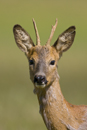 Portrait of a young roe deer buck