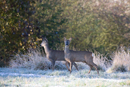 Roe deer young in a field on a frosty morning