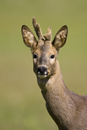 Portrait of a young roe deer buck with antlers in velvet