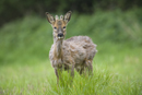 Young roe deer buck with antlers in velvet