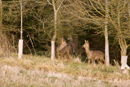 Young roe deer emerge from a tree plantation