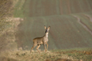 Young roe deer buck at the edge of a field of winter wheat