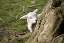 Lamb hiding behind tree