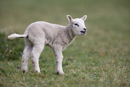 Lamb bleating