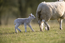 Young lamb with mother