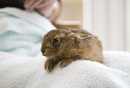 Leveret being hand reared