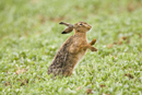 European brown hare shakes fur to remove rain