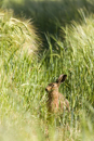European brown hare eating barley