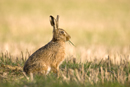 European brown hare eating green shoots