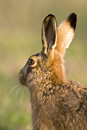European brown hare portrait