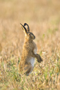 European brown hare standing on hind legs