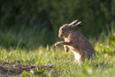 European brown hare grooming at the edge of a farm track