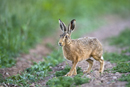 European brown hare on a farm track