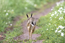 European brown hare running on a farm track