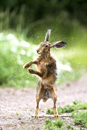 European brown hare on a farm track drying off