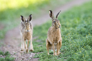European brown hares on a farm track