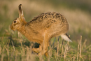 European brown hare running