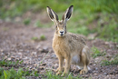 Young European brown hare on a farm track