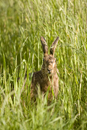 European brown hare eating in a field