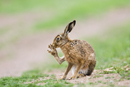 European brown hare grooming