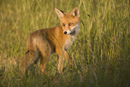 European red fox in the long grass