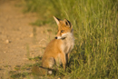 Young European red fox sitting at the edge of a farm track